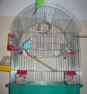 продам попугаев 2 шт. + клетка