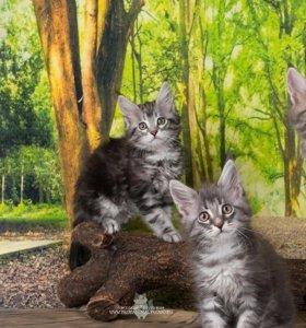 Котята мейнкунята