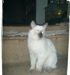 Кот Таец