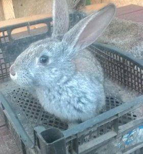 Кролики, серые великаны