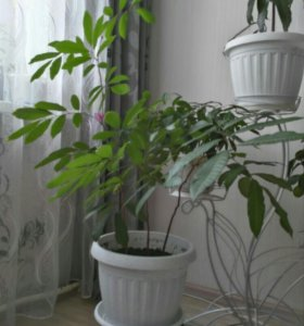 Лонган, тропическое растение