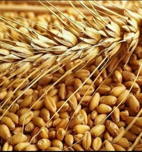 Зерно пшеница, ячмень, кукуруза, овёс