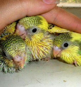 К бронированию готовятся ручные птенцы волнистых.