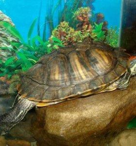 2-е Черепахи