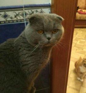 Вислоухий чемпион ждет кошечку в гости