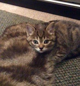 Чистокровные котята шотландской вислоухой кошки