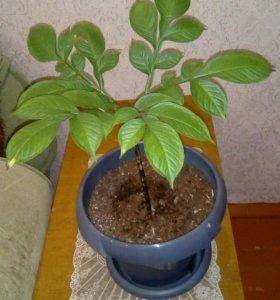 Растёт большой,но не цветёт