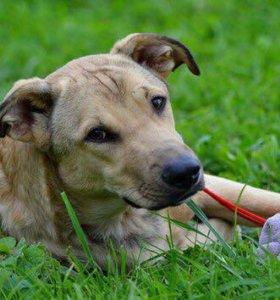 Собака метис лабрадора