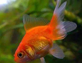 Золотая рыбка Риукин красный 5-6 см