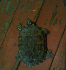 БЕСПЛАТНО---Черепахи
