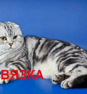 Вязка, мраморный вислоухий кот