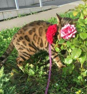 Бенгальский. Кот. Вязка