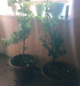 Дерево цитрусовых