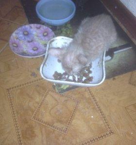Котёнок 2,5 месяца девочка.