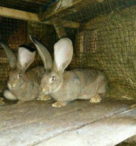 Кролики Фландры