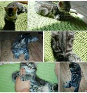 Котята страйты