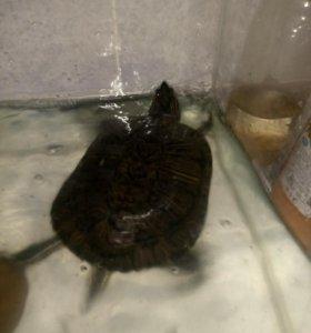 Красноухая черепаха+аквариум.