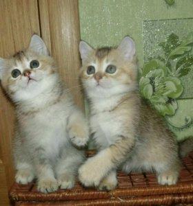 Шотландские котята