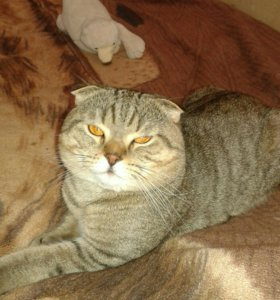 Кот шотландец вислоухий. Вязка.