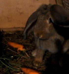 Кролики французские бараны/великаны 5-6 мес. Самки