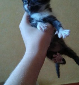 Кошечка породистая