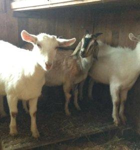 Продам молодых племенных коз