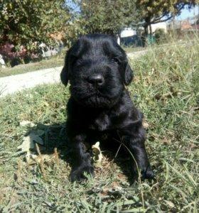 Продам щенков Русского Черного Терьера