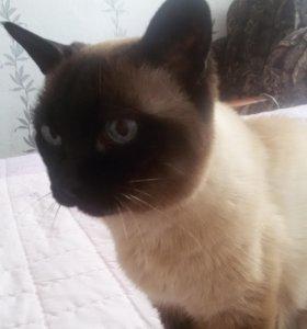Возьму сиамского (тайского) котенка