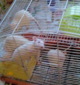 Продам крысят ,альбиносы и черно-белые торг.