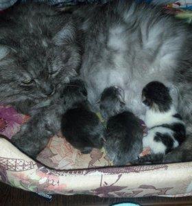 Продам котят сибирской породы
