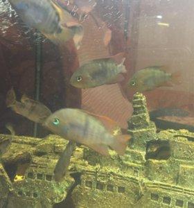Рыбка Сэйджик
