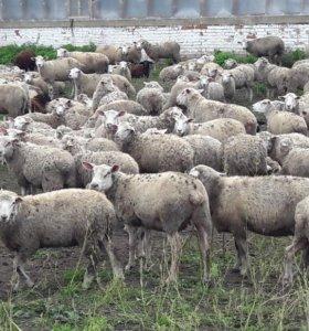 Срочно Овцы на мясо живаком\тушами