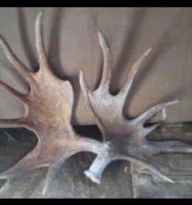 принмаем рога лося оленя и сайгака любой вид