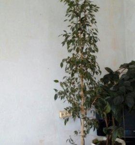 Дерево Фикус индия