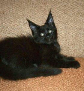 Чистокровная черная кошечка Мейн Кун