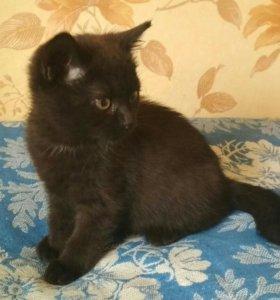 Кошечки от мамы британки
