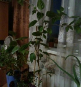 Домашняя роза