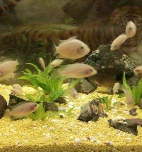 Аквариумные рыбки.Цихлазома фламинго