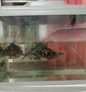 Черепахи красноухие; аквариум