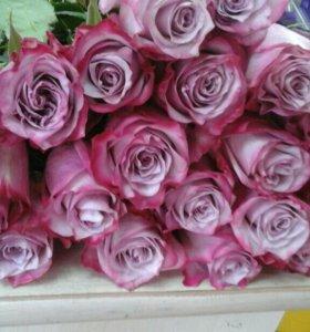 Роза Голандия
