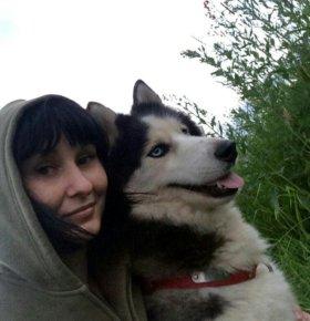чистокровный кобель сибирский хаски для вязки