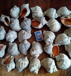 Морские раковины Рапана
