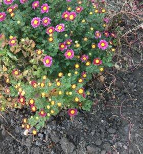 Цветы хризантемы корейские