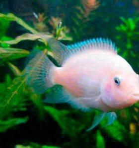 Рыбы цихлазомы фламинго
