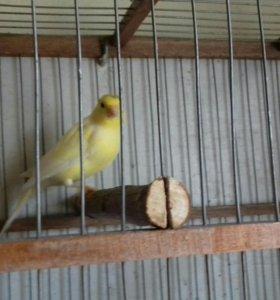 Певице птицы