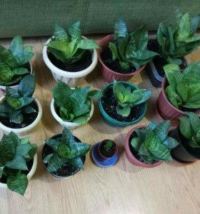 Сансевиерия (комнатное растение) с горшком