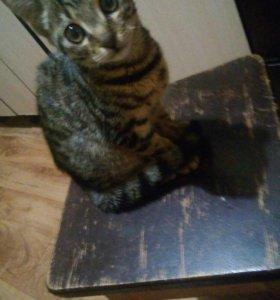 Котенок 3.5 месяца, мальчик