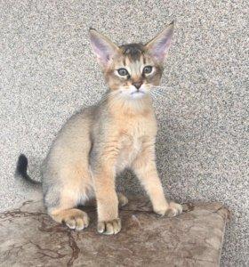Котята Чаузи Ф2