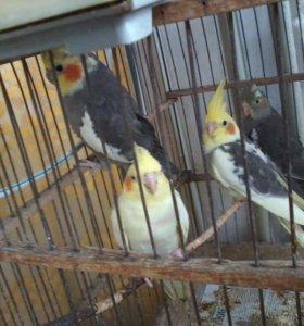 Птенцы попугаев корелла