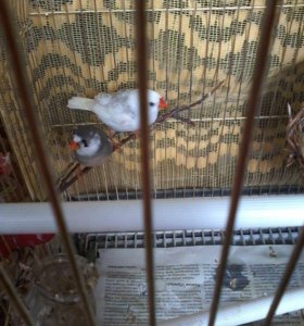 Птенцы птиц амадин